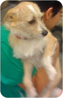 Terrier (Unknown Type, Small) Mix Dog for adoption in Loudonville, New York - Mandy