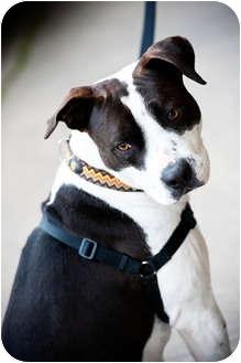 American Bulldog/Terrier (Unknown Type, Medium) Mix Dog for adoption in Houston, Texas - Todd
