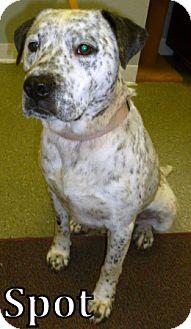 Labrador Retriever/Dalmatian Mix Dog for adoption in Georgetown, South Carolina - Spot