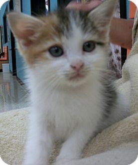 Domestic Shorthair Kitten for adoption in Reston, Virginia - Darla