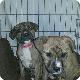 Boxer Mix Puppy for adoption in Silver Lake, Wisconsin - Craig