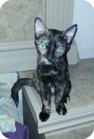 Calico Kitten for adoption in Phoenix, Arizona - Shiloh