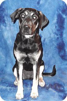 German Shepherd Dog/Labrador Retriever Mix Dog for adoption in Memphis, Tennessee - Dixie