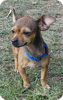 Chihuahua Mix Dog for adoption in Corona, California - LACEY, tiny 5 Lbs!