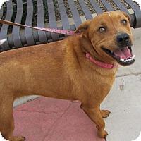 Adopt A Pet :: Pepsi - Gilbert, AZ