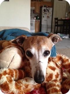 Italian Greyhound Dog for adoption in Argyle, Texas - Cody in N Austin Area (kileen)