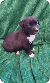 Labrador Retriever/Boxer Mix Puppy for adoption in Hillsboro, Illinois - Harley