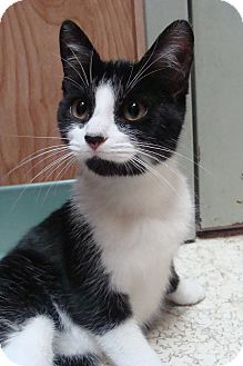 Domestic Shorthair Cat for adoption in Bryan, Ohio - Cookie