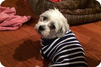 Lhasa Apso Mix Dog for adoption in Chicago, Illinois - Island