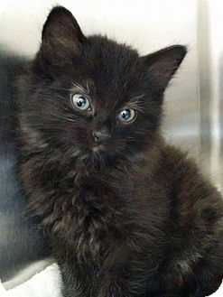 Domestic Mediumhair Kitten for adoption in THORNHILL, Ontario - Puff
