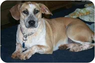 Beagle/Labrador Retriever Mix Dog for adoption in Inman, South Carolina - Wilma