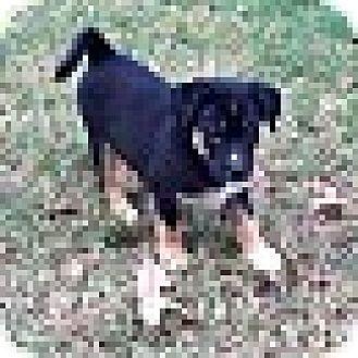 Husky/German Shepherd Dog Mix Puppy for adoption in PARSIPPANY, New Jersey - ASPEN