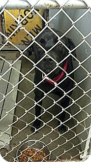 Labrador Retriever Mix Dog for adoption in Sandersville, Georgia - 146359
