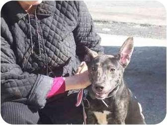 Basenji Mix Dog for adoption in Long Beach, New York - Baby
