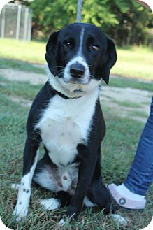 Border Collie Mix Dog for adoption in Waldorf, Maryland - Russell