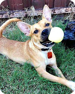 Boston Terrier Mix Dog for adoption in McKinney, Texas - Jay Jay