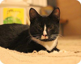 Domestic Shorthair Kitten for adoption in Carlisle, Pennsylvania - Doc