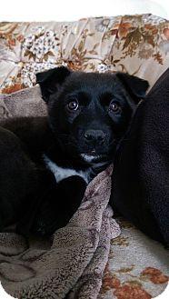 German Shepherd Dog/Labrador Retriever Mix Puppy for adoption in Okotoks, Alberta - Glory