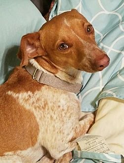 Dachshund/Terrier (Unknown Type, Medium) Mix Dog for adoption in Pearland, Texas - Rigby