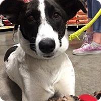Adopt A Pet :: Lily - Bellingham, WA