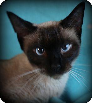 Siamese Cat for adoption in Staunton, Virginia - Cher
