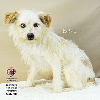 Norfolk Terrier Mix Dog for adoption in Tomball, Texas - Bert
