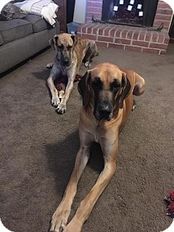 Great Dane Dog for adoption in Windham, New Hampshire - Donovan and MJW a bonded pair!