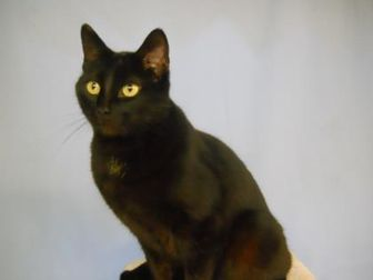 Domestic Mediumhair/Domestic Shorthair Mix Cat for adoption in Greenville, Illinois - Fantasia