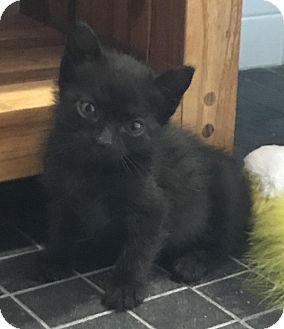 Domestic Shorthair Kitten for adoption in Woodmere, New York - Nala