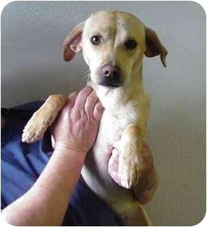 Feist/Labrador Retriever Mix Dog for adoption in Manassas, Virginia - Chelsea
