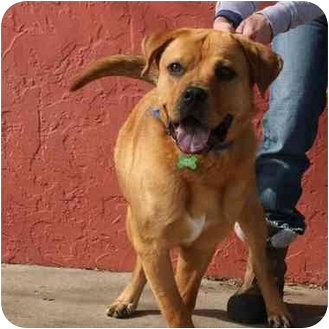 Bullmastiff/Labrador Retriever Mix Dog for adoption in Denver, Colorado - Moose