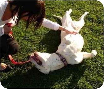 American Bulldog Mix Dog for adoption in Redondo Beach, California - Happy - Courtesy