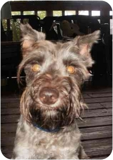 Miniature Schnauzer Dog for adoption in North Benton, Ohio - Ralphy