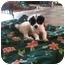 Photo 2 - Newfoundland/Great Pyrenees Mix Puppy for adoption in Brooksville, Florida - Gretta