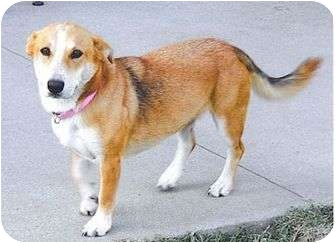 Corgi/Corgi Mix Dog for adoption in Broomfield, Colorado - Macy