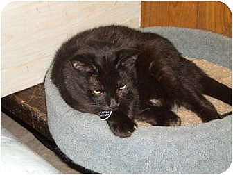 Domestic Shorthair Cat for adoption in Cleveland, Ohio - Tipper