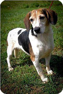 Beagle Dog for adoption in Waldorf, Maryland - Winnie