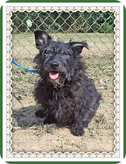 Scottie, Scottish Terrier Mix Dog for adoption in Marietta, Georgia - LIBBY (R)