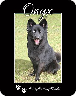 Siberian Husky Dog for adoption in Clearwater, Florida - Onyx