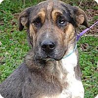 Adopt A Pet :: *Abigail - PENDING - Westport, CT