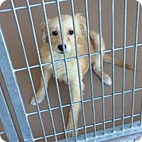 Adopt A Pet :: Goldie - Denver, CO