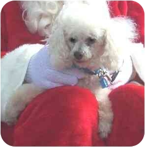 Poodle (Toy or Tea Cup) Dog for adoption in Melbourne, Florida - TONY
