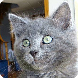 Domestic Shorthair Kitten for adoption in Calgary, Alberta - Lucy