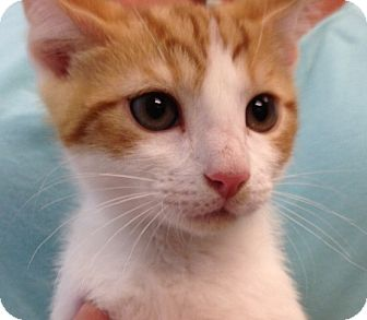 Domestic Shorthair Kitten for adoption in Columbia, South Carolina - Ginger