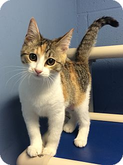 Domestic Shorthair Kitten for adoption in Germantown, Tennessee - Bitsy