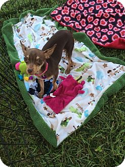 Chihuahua Dog for adoption in Wellington, Florida - TIPPIT