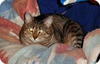 Domestic Shorthair Cat for adoption in HILLSBORO, Oregon - Tigger *Offered by Owner* Snuggle-bunny young adul