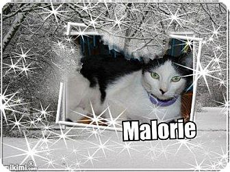 Domestic Shorthair Cat for adoption in Wichita Falls, Texas - Malorie