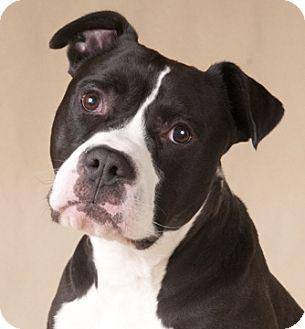 American Bulldog/Boxer Mix Dog for adoption in Chicago, Illinois - Petey