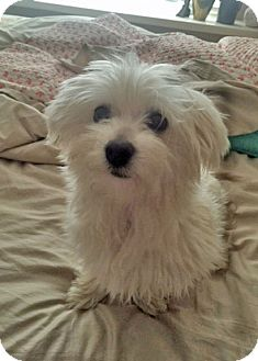 Maltese/Havanese Mix Dog for adoption in Plano, Texas - SOPHIE - PRECIOUS LITTLE GIRL